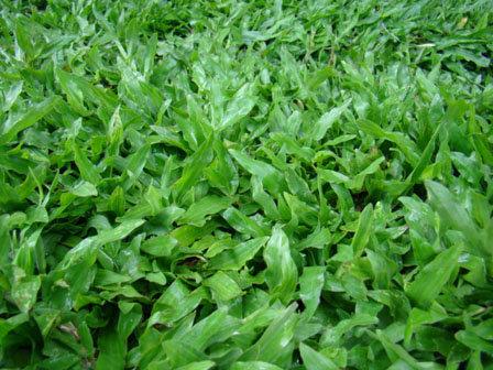 ไร่หญ้า วิทยา ปูหญ้า ตารางเมตรละ 10 บาท